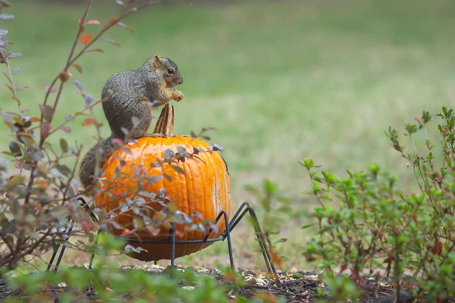 Pumpkin squirrel plano photographer